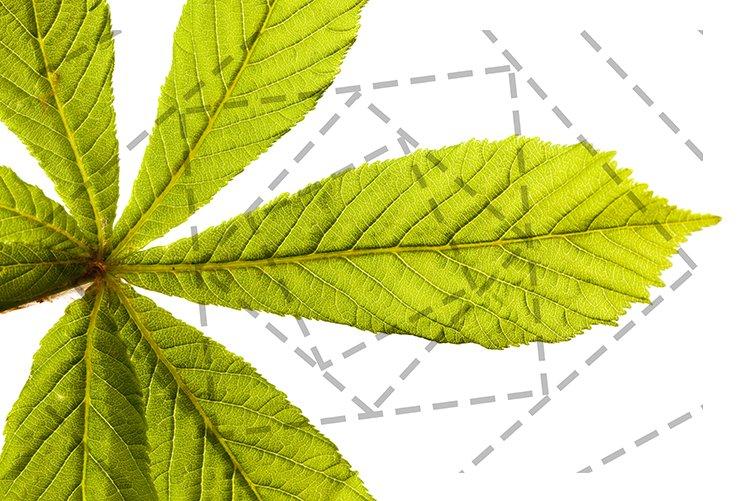 green chestnut leaf example image 1
