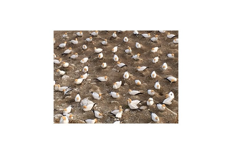 Photo of gannets nesting in Muriwai Gannet Colony example image 1