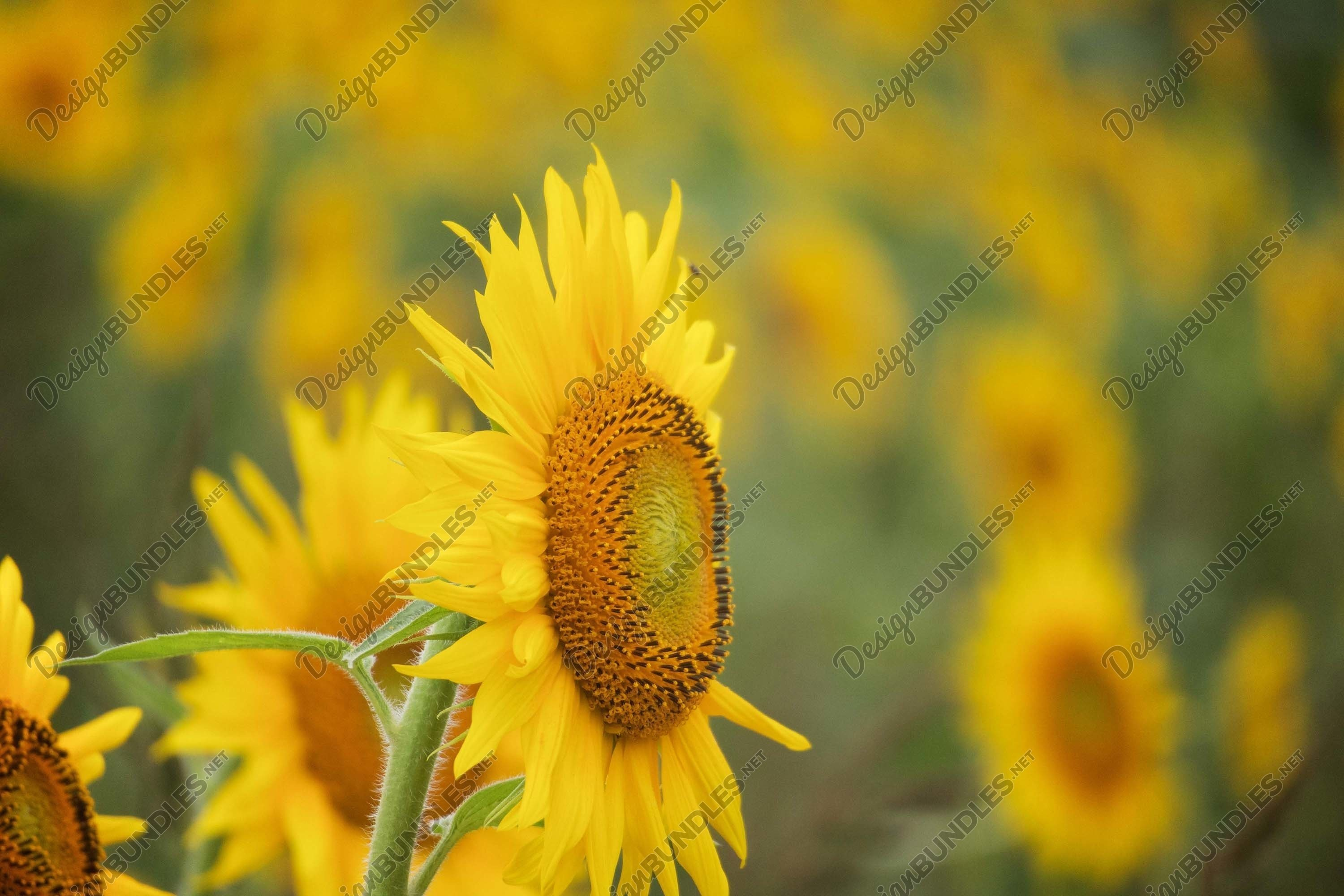 Stock Photo - Selective focus on sunflower in foreground example image 1
