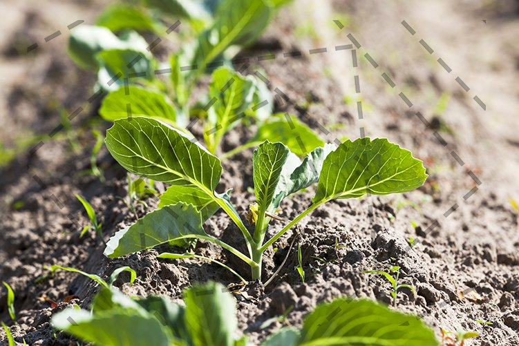 sprout cabbage . field. example image 1
