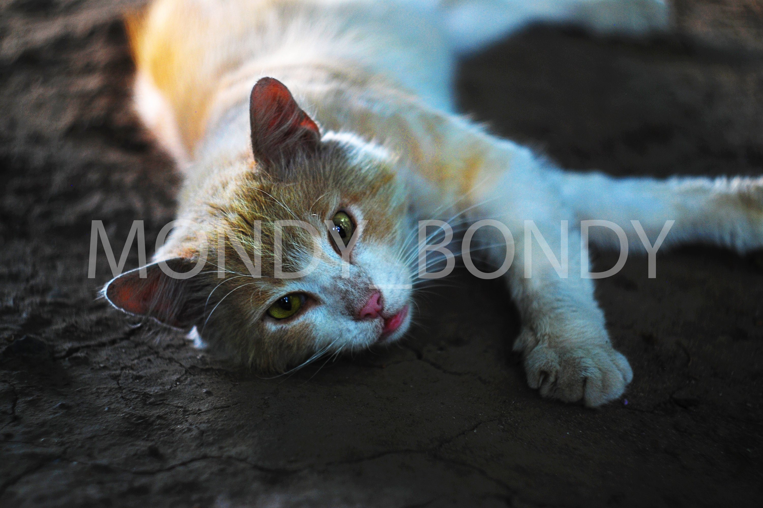 A red-white, dehydrated cat lies on the cracked ground from example image 1