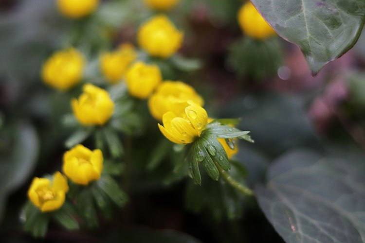 yellow springtime eranthis flowers close up example image 1