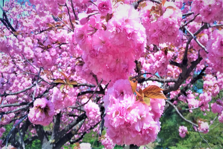 Fantastic sakura and plum tree blossoms in Japan in May example image 1