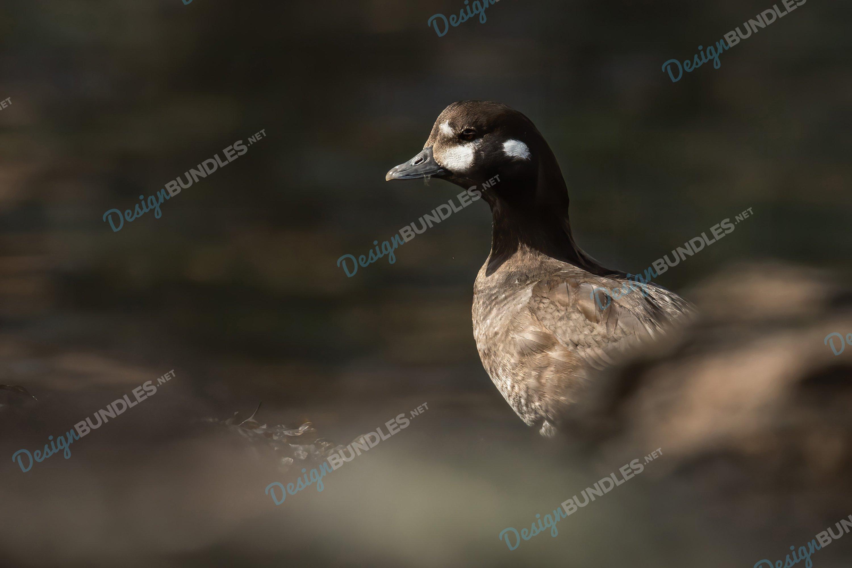 Stock Photo - Duck's Portrait example image 1