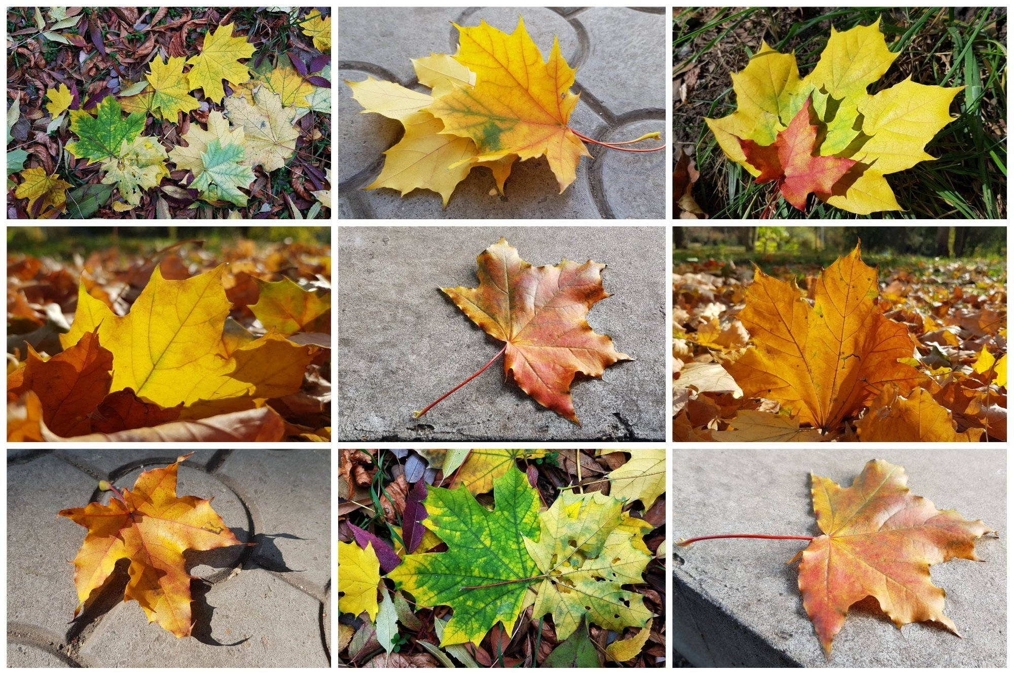Set of 20 Autumn Photo Backgrounds with Maple Leaf example image 3