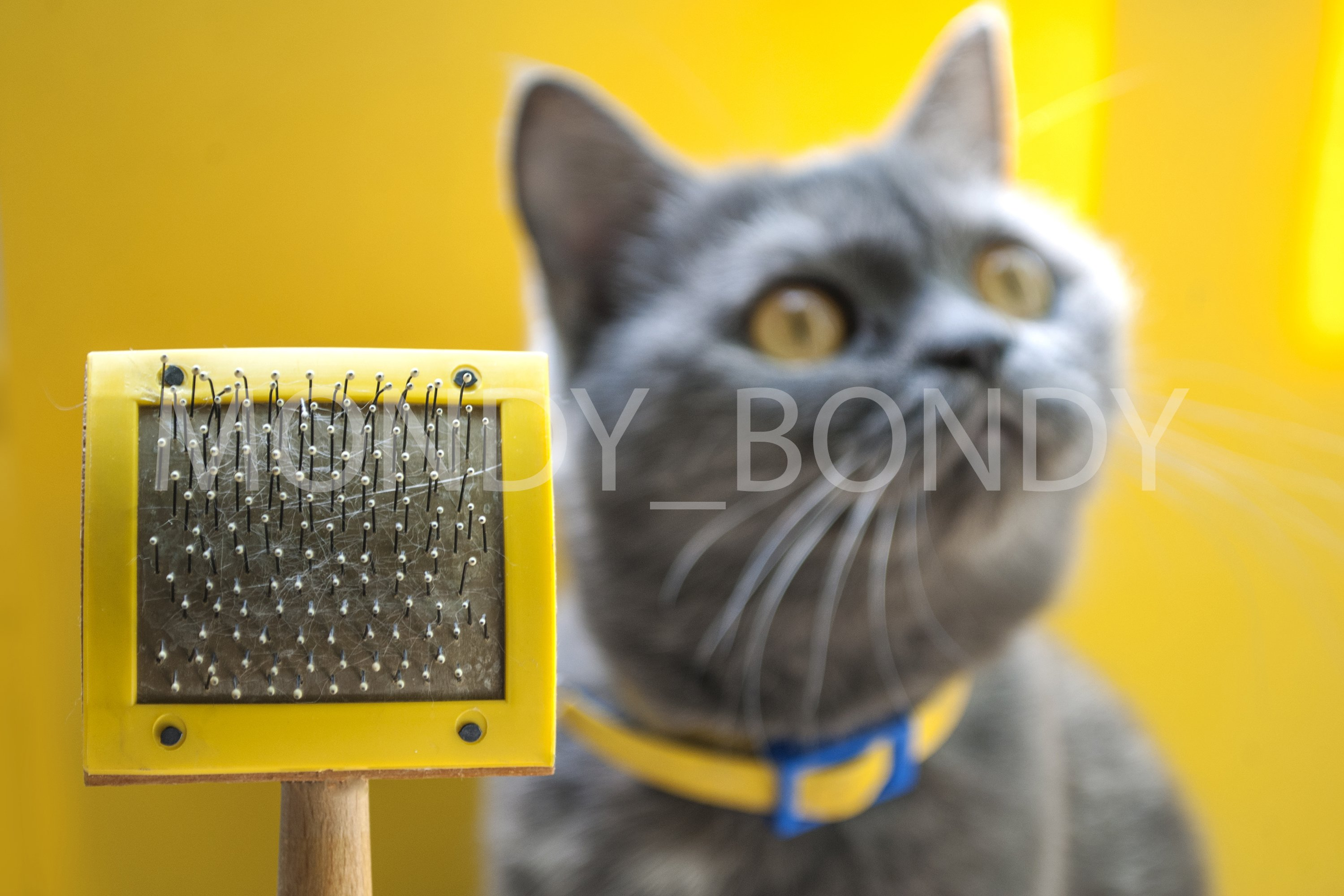 cat comb close-up and gray cat on a yellow background example image 1