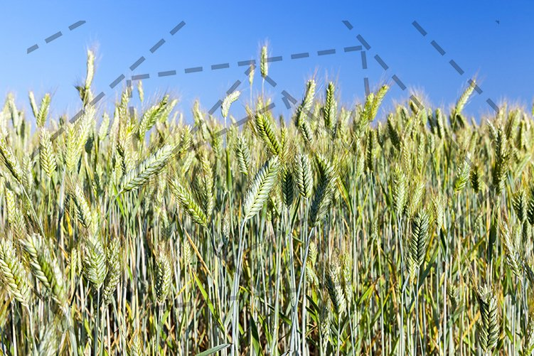 Field with cereal example image 1