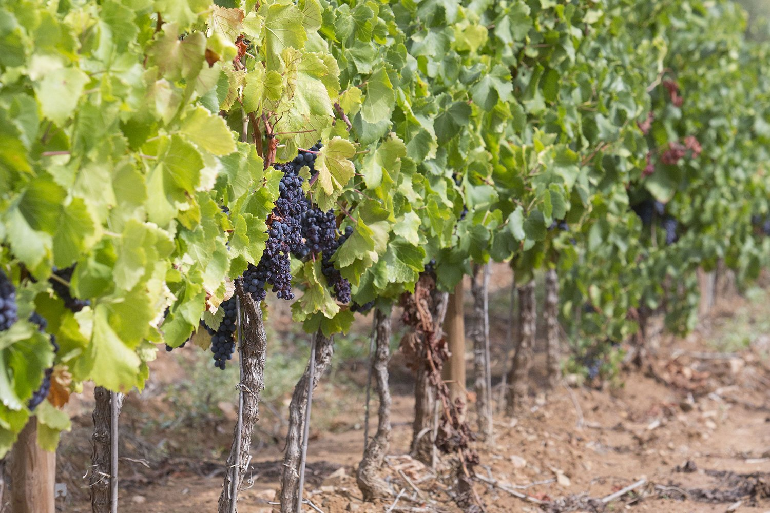 Ripe grapevine for red wine in the valley example image 1