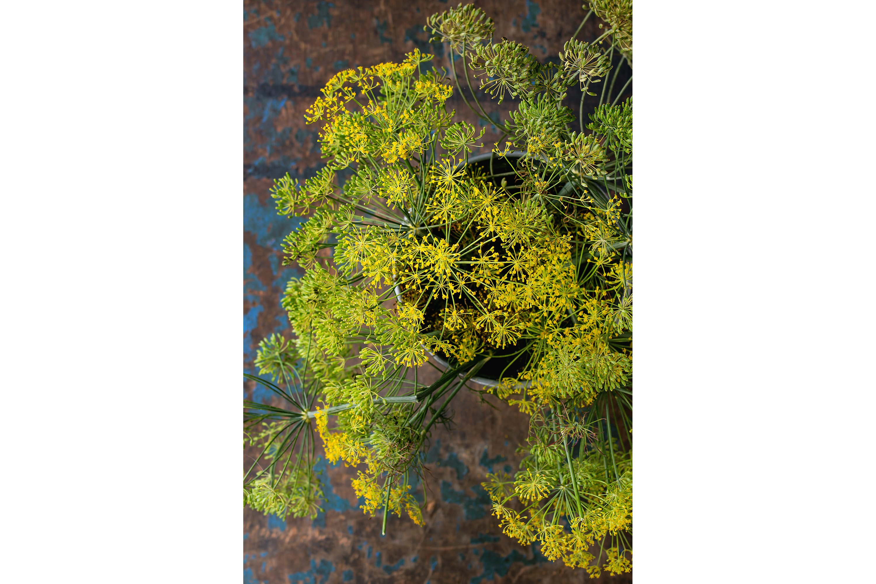 Flowers of green dill example image 1