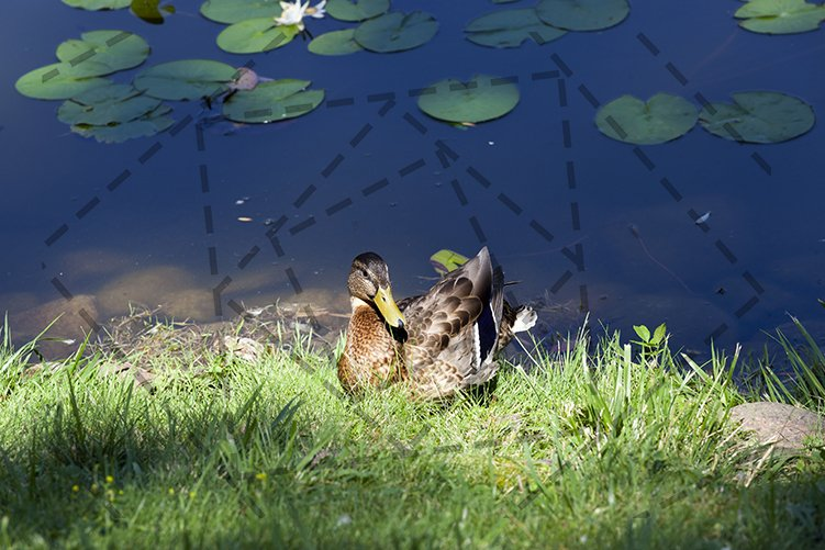 The young duck autumn rest grass lake example image 1