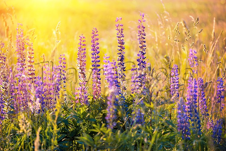 Field with purple lupine flowers with sunset rays. example image 1
