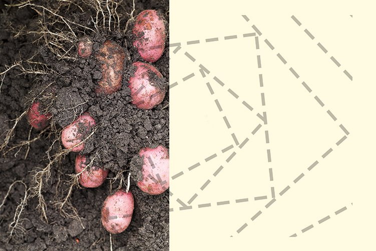potato of red color example image 1