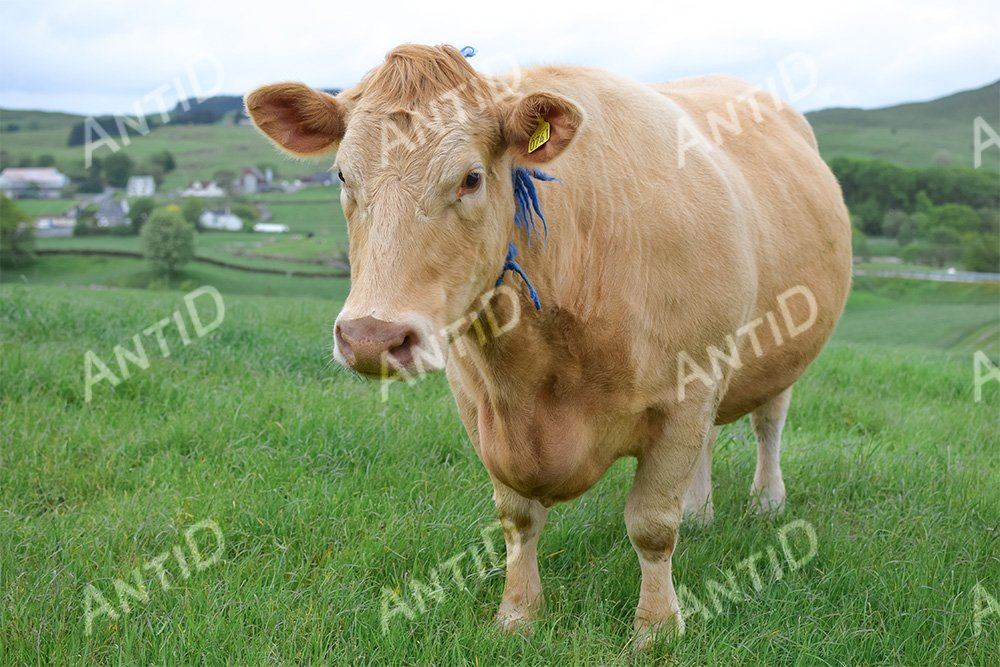 Breed of Angus cows example image 1