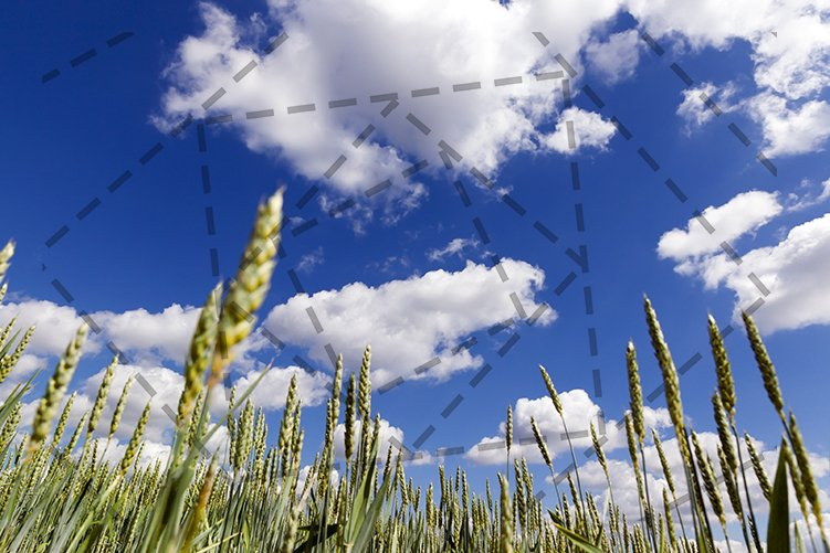 green wheat field example image 1