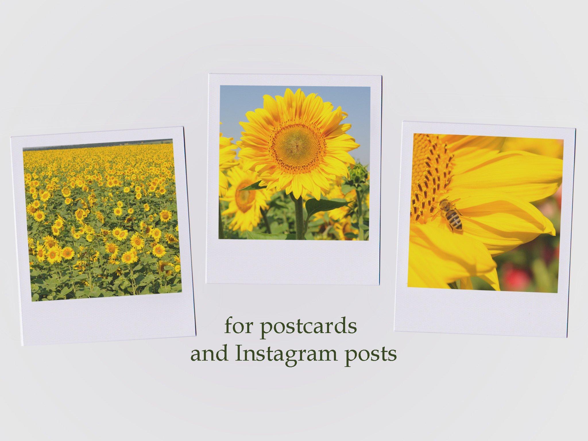 26 Sunflower Summer Photo Backgrounds example image 6