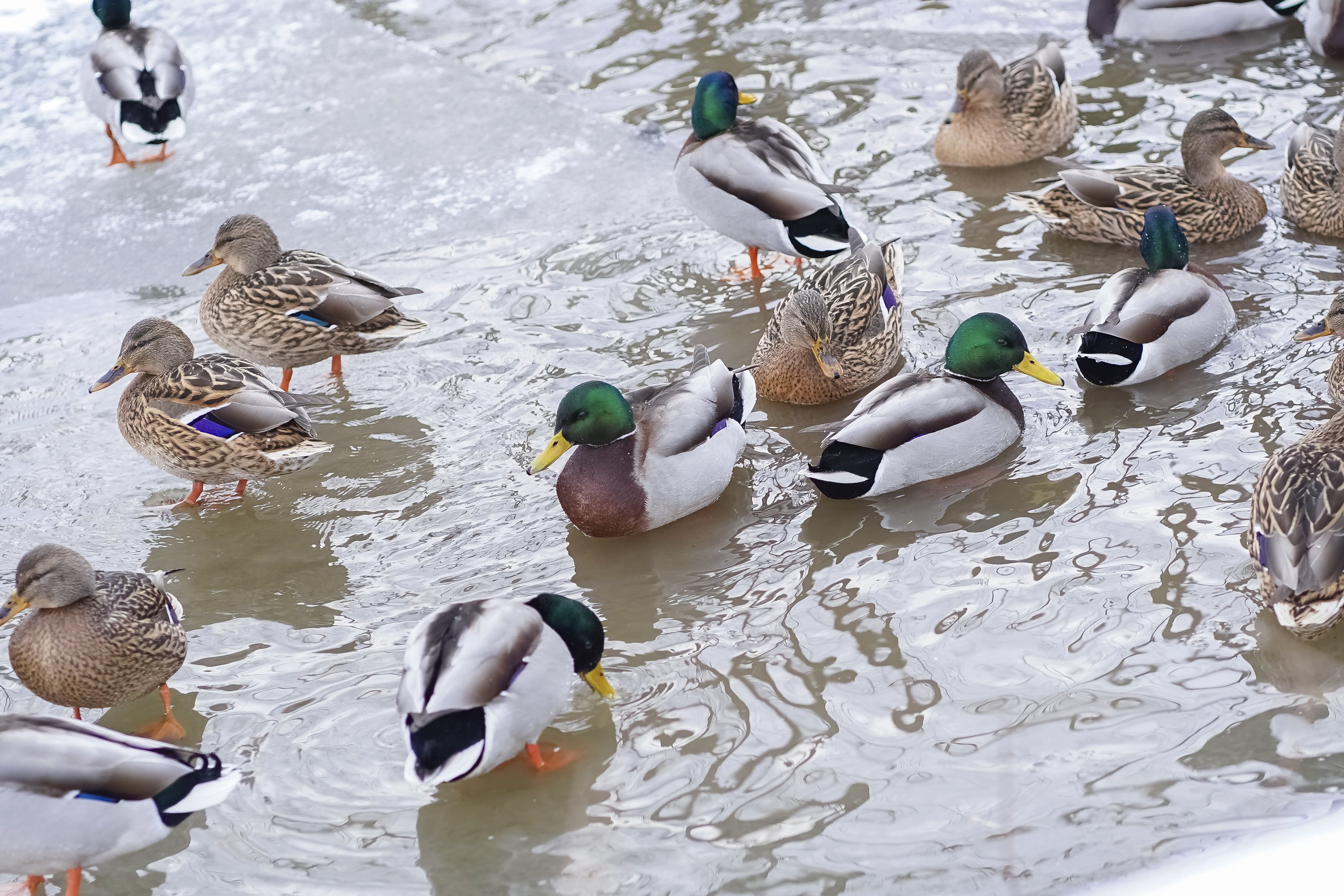 A flock of ducks are swimming in the water in winter example image 1