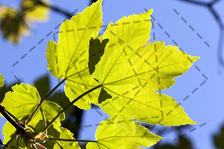 maple foliage example image 1