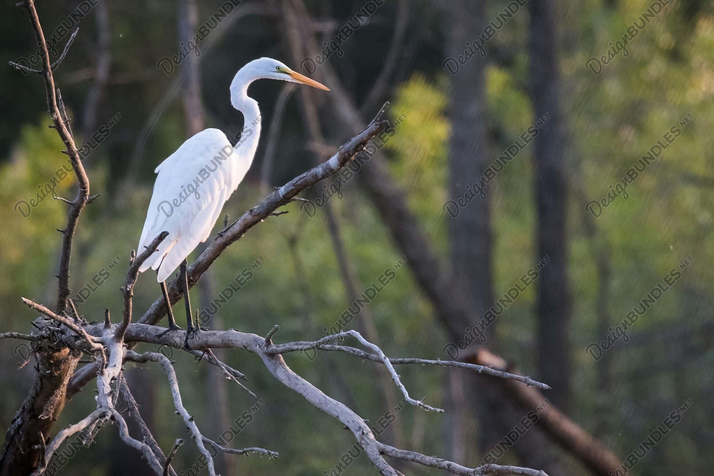 Stock Photo - Great egret example image 1