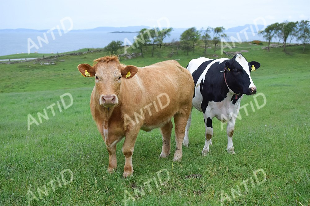 Cows graze on a green pasture by the sea. example image 1