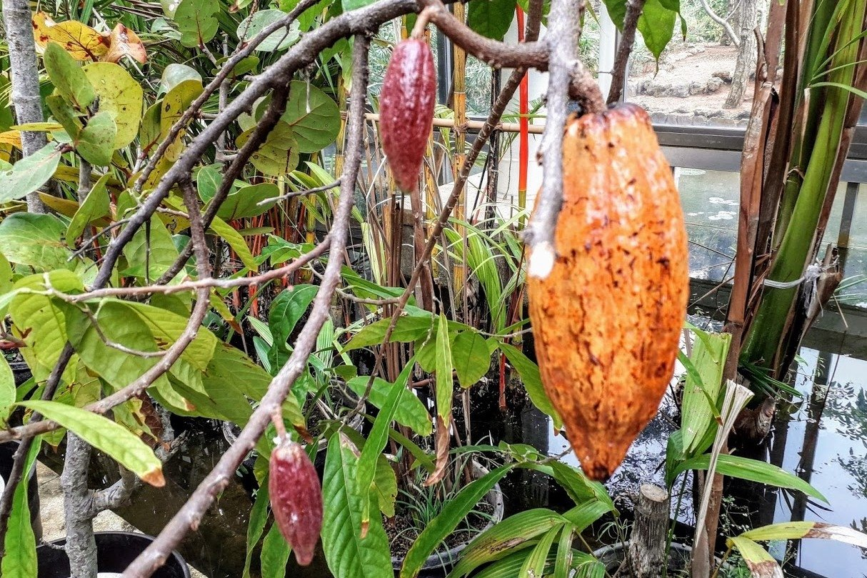 Nature photos Cacao Tree example image 1