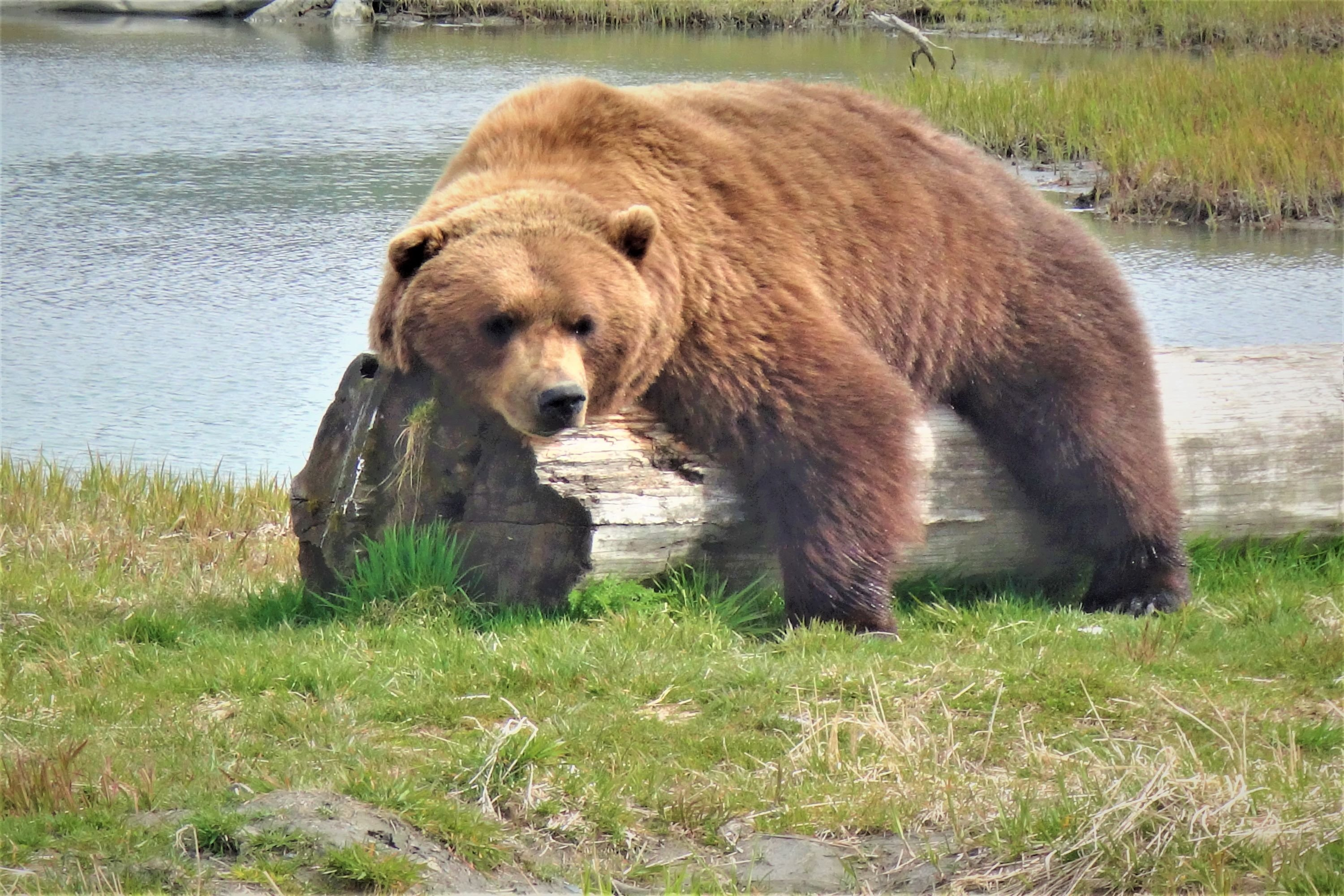 Majestic grizzly and black bears in Alaska example image 1