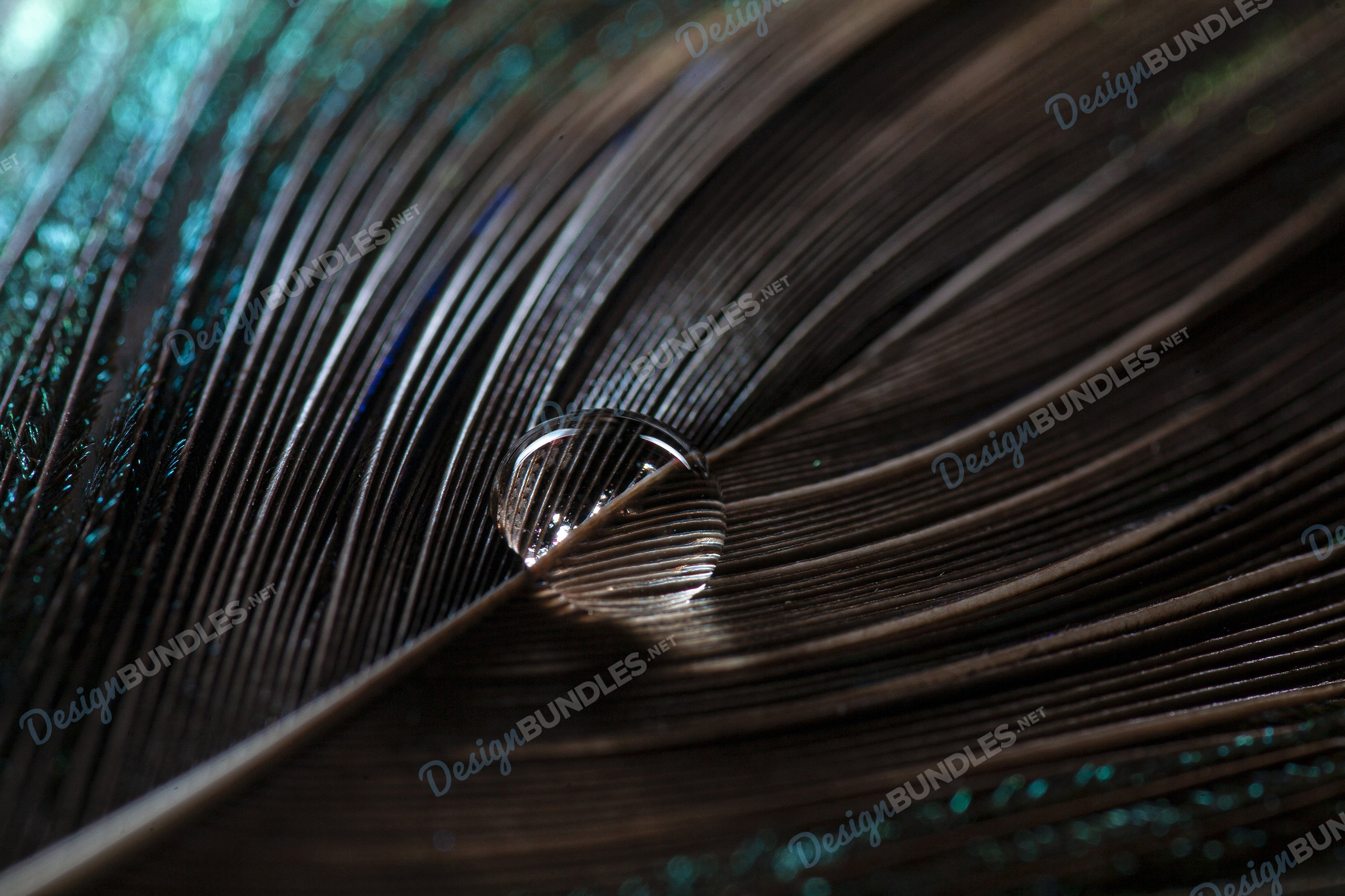 Stock Photo - Water drop on bird feather example image 1