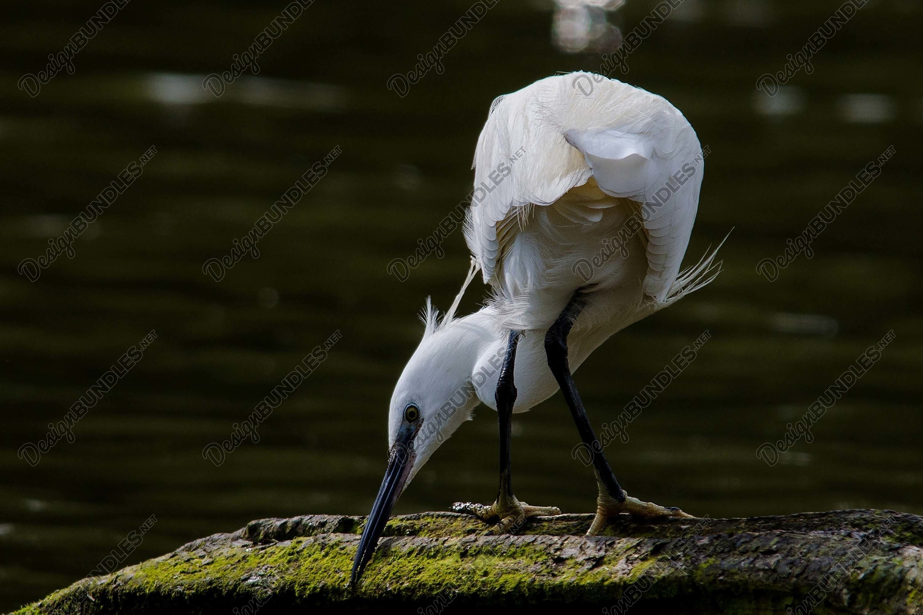 Stock Photo - white egrets shot from behind example image 1