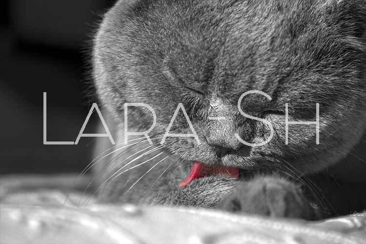 British Shorthair cat licks language forepaw and paws. example image 1