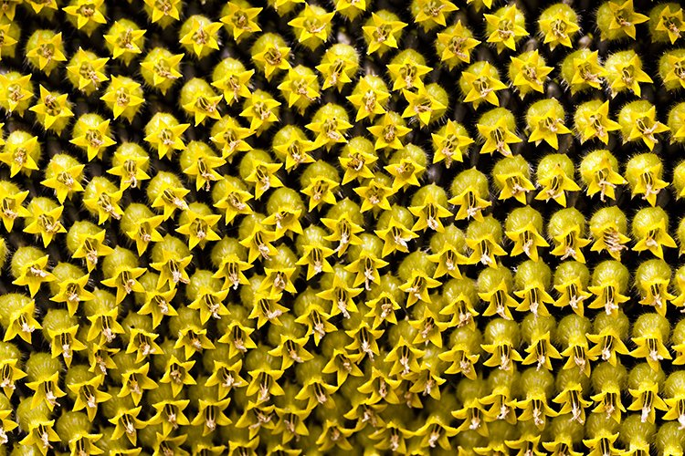 sunflower with black seeds example image 2