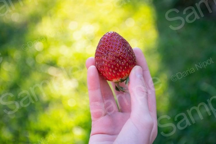 Hand holding ripe strawberry example image 1