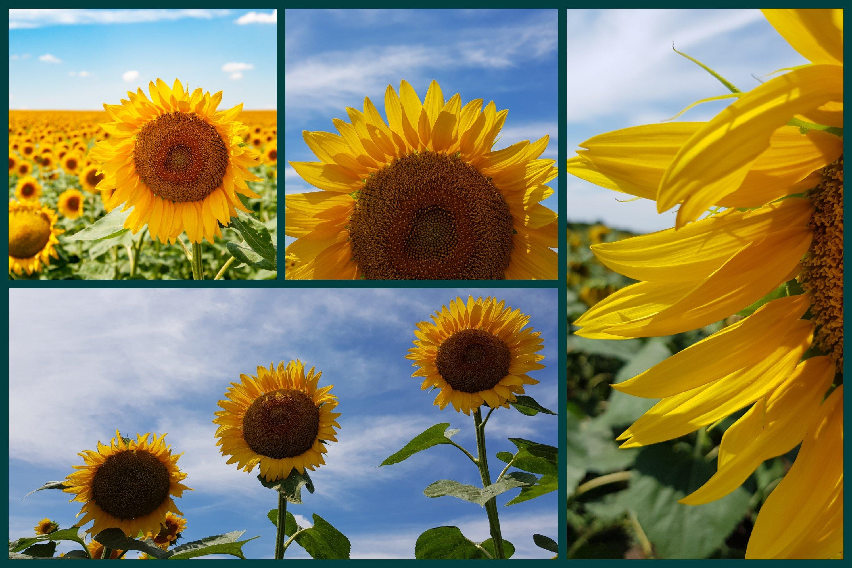26 Sunflower Summer Photo Backgrounds example image 4