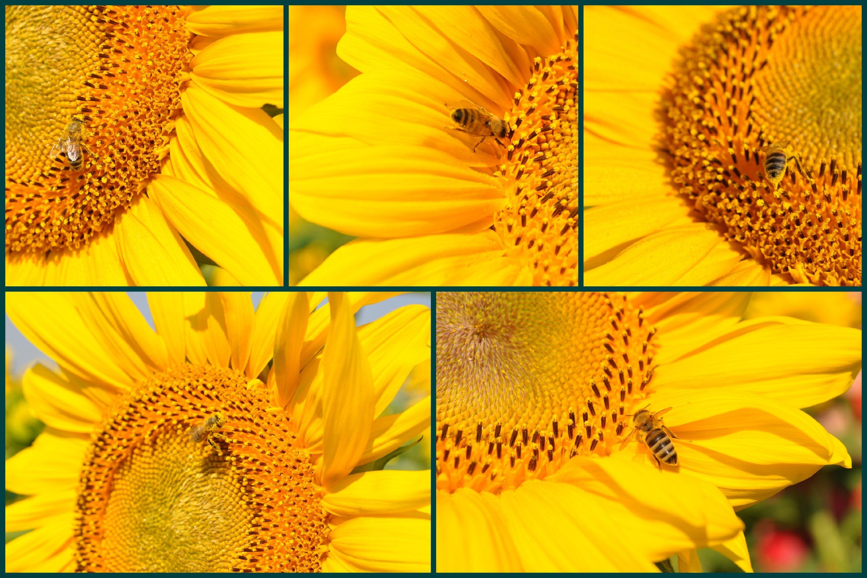 26 Sunflower Summer Photo Backgrounds example image 2