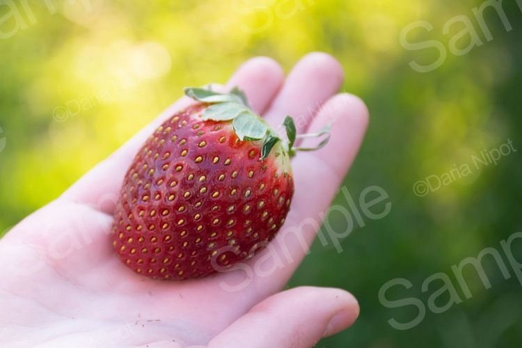 Hand holding ripe strawberry example image 1