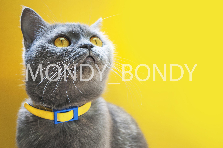Scottish gray erect cat with bright yellow eyes example image 1