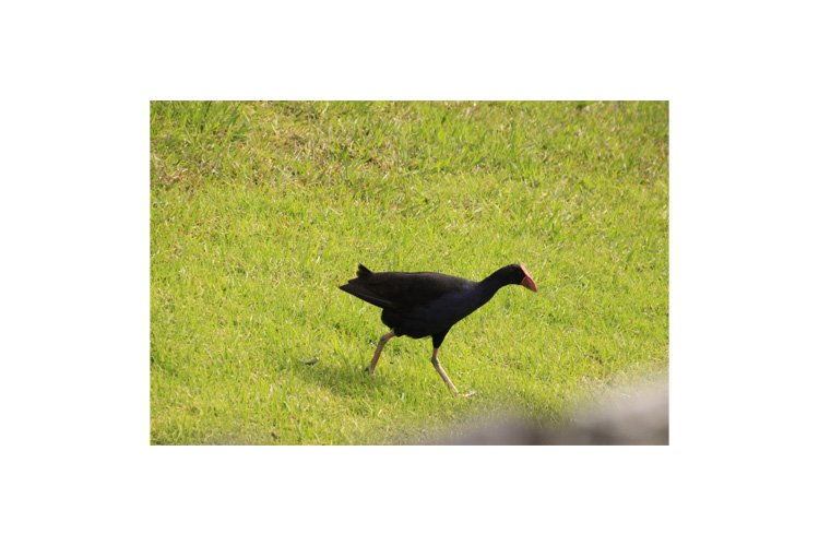 Photo of the Australasian swamphen or pukeko example image 1