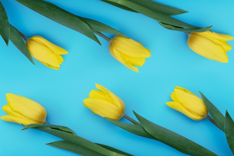 Yellow tulips on blue background. example image 1