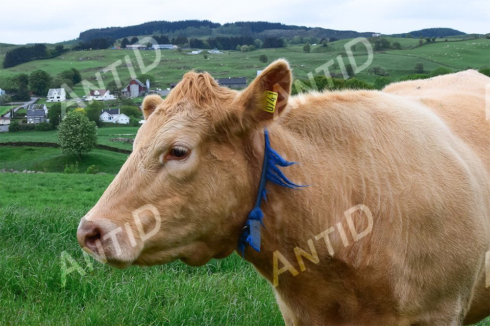 Cow graze on a green pasture. example image 1