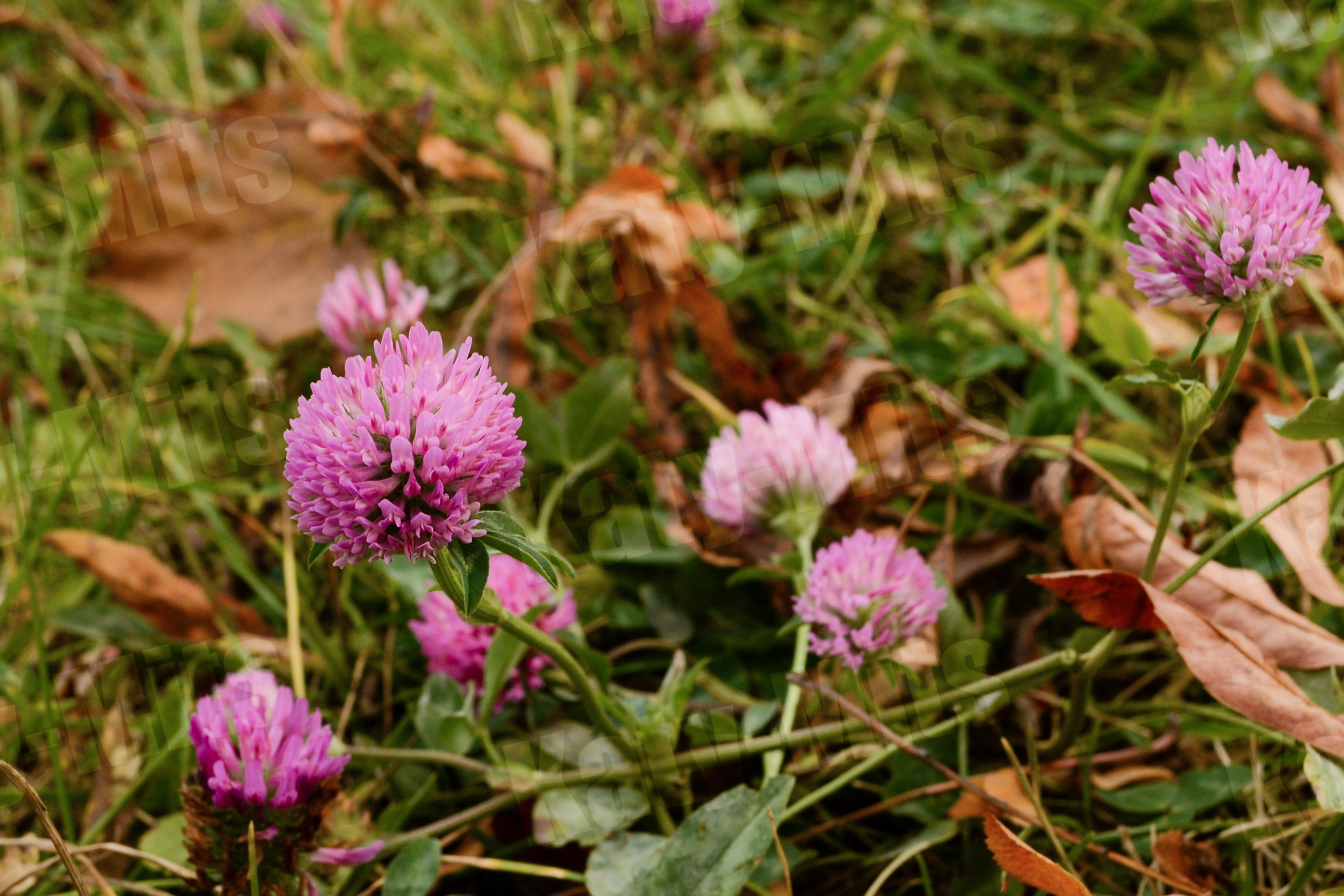 Pink clover flowers in the autumn in the park. example image 1