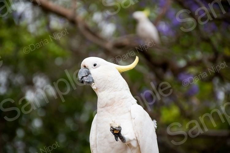 Cockatoo on a fence example image 1
