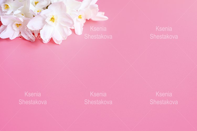 bouquet flowers narcisses in full bloom on a pink background example image 1