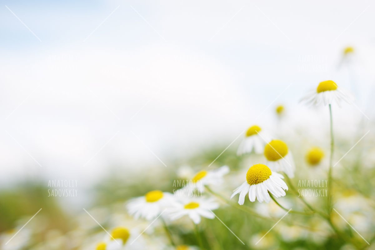 Chamomile flowers. Soft focus example image 1