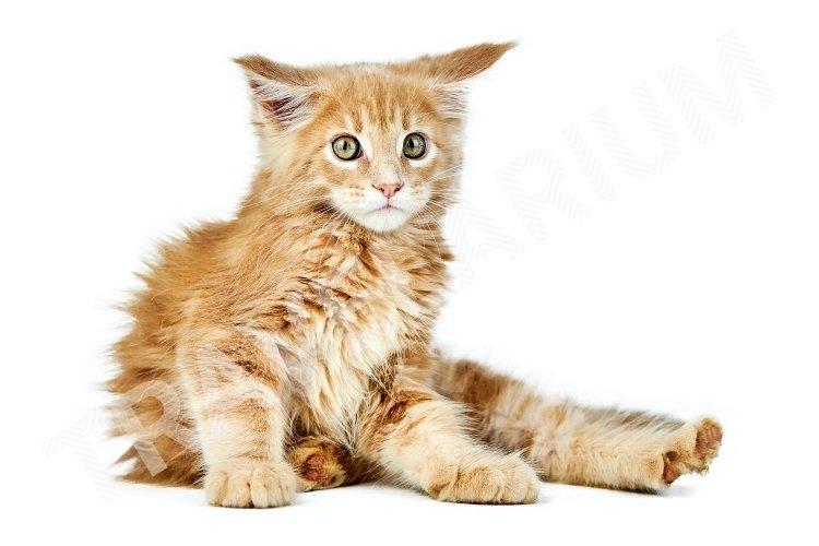 Maine coon kitten, isolated example image 1
