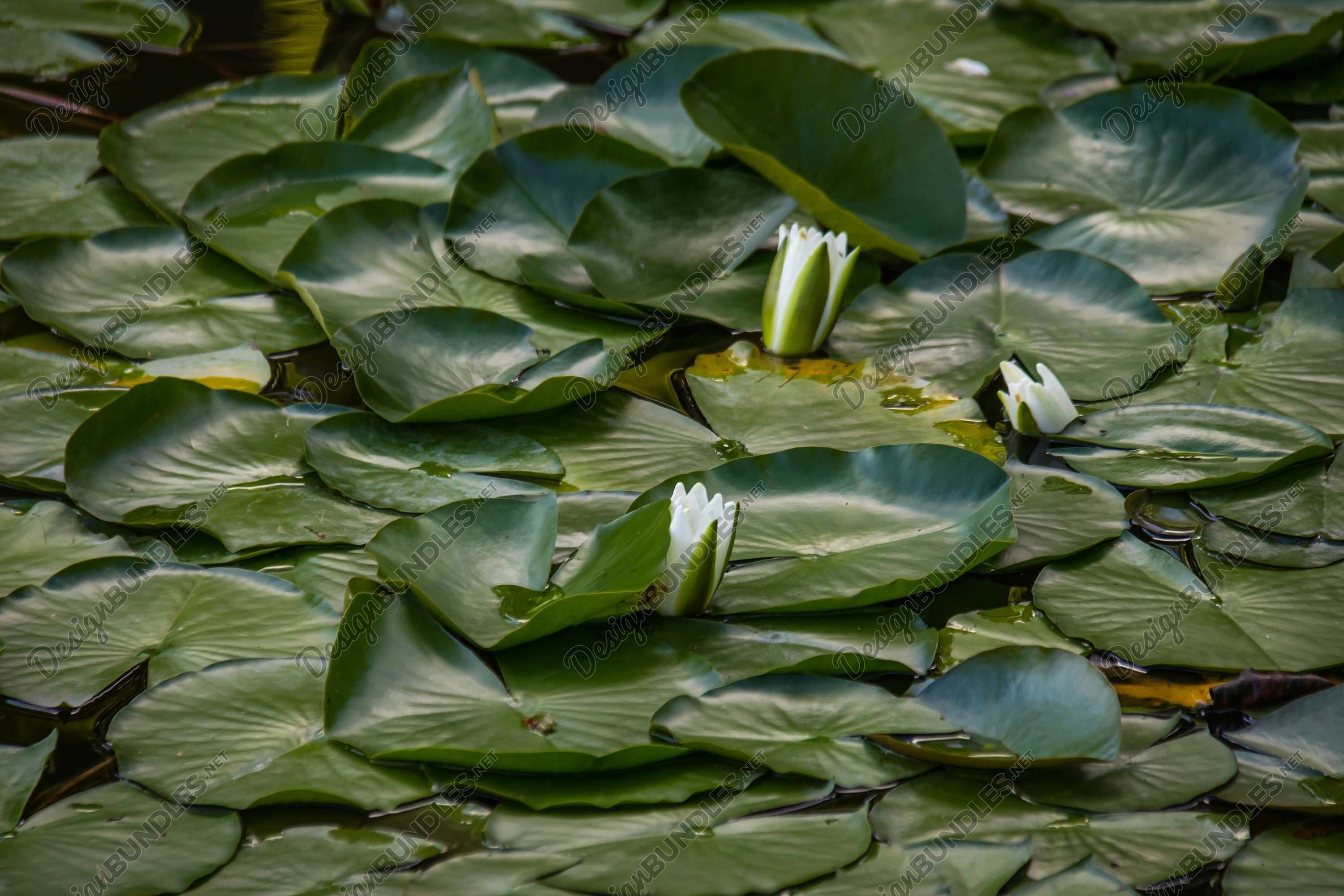 Stock Photo - Water lily example image 1