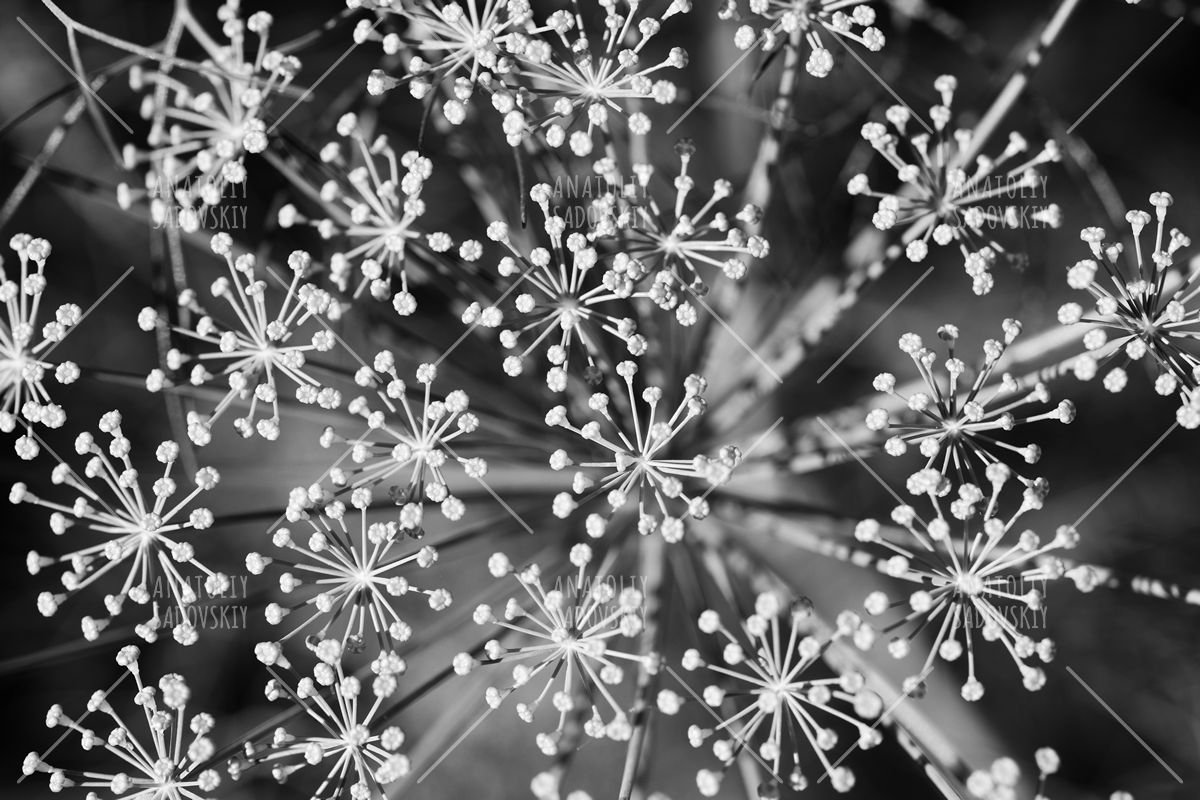Black and white dill example image 1