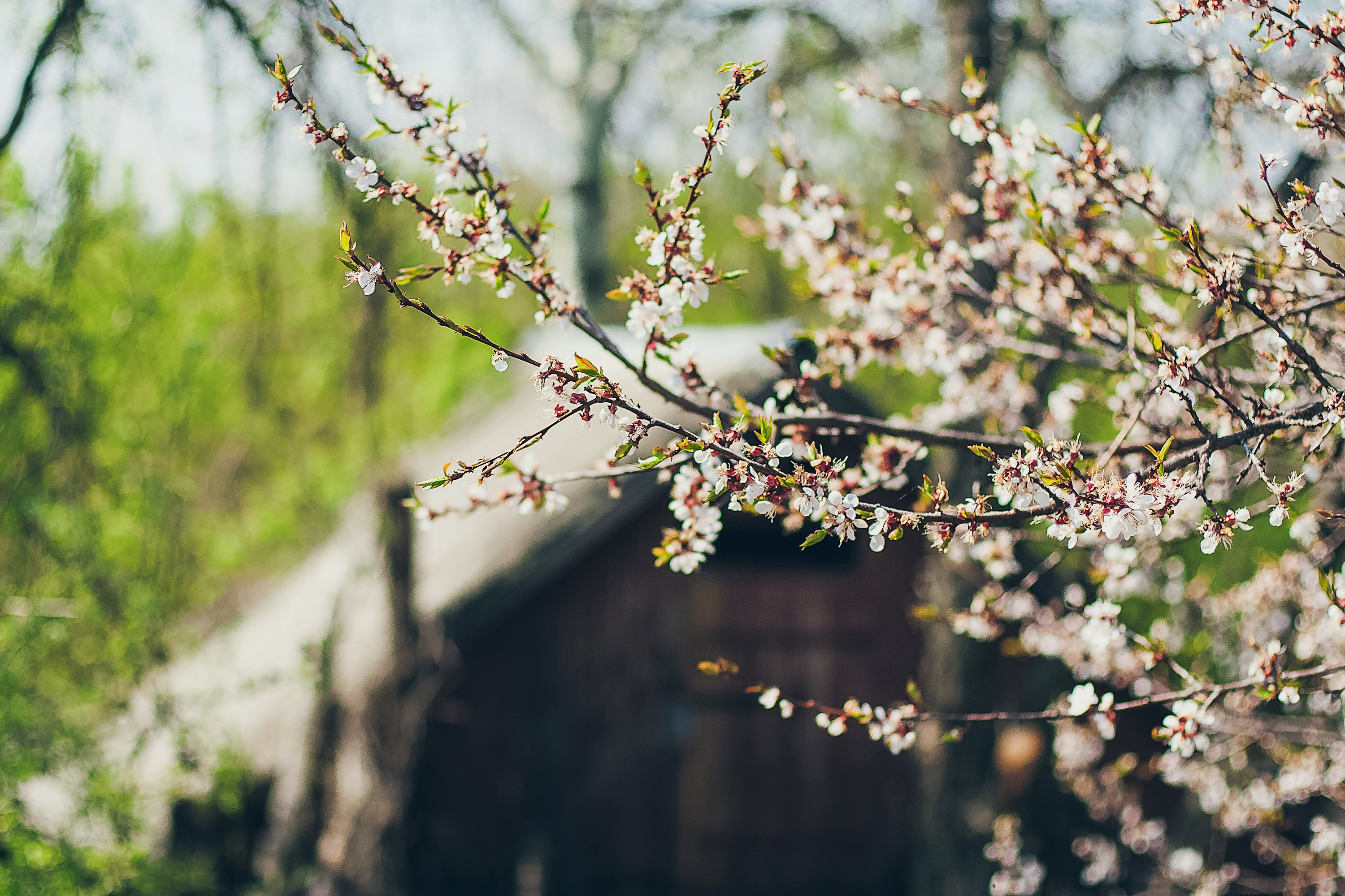 Apricot blossoms in full bloom. Part of the branch example image 1