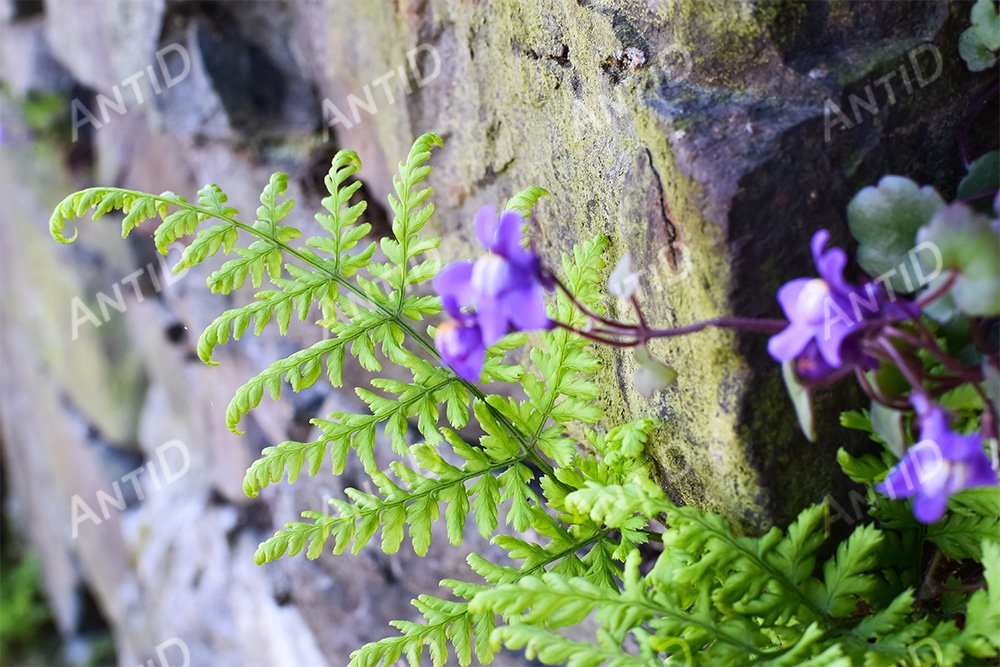 Fern and flowers grow on the stones. example image 1