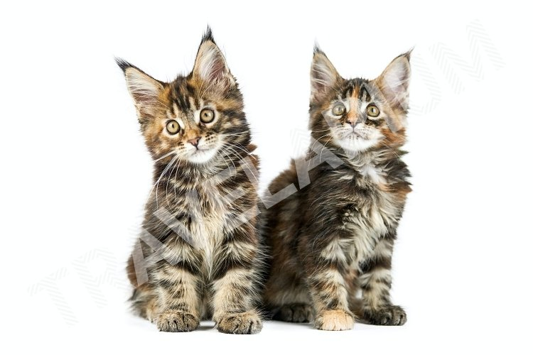 Two Maine coon kittens, isolated. example image 1