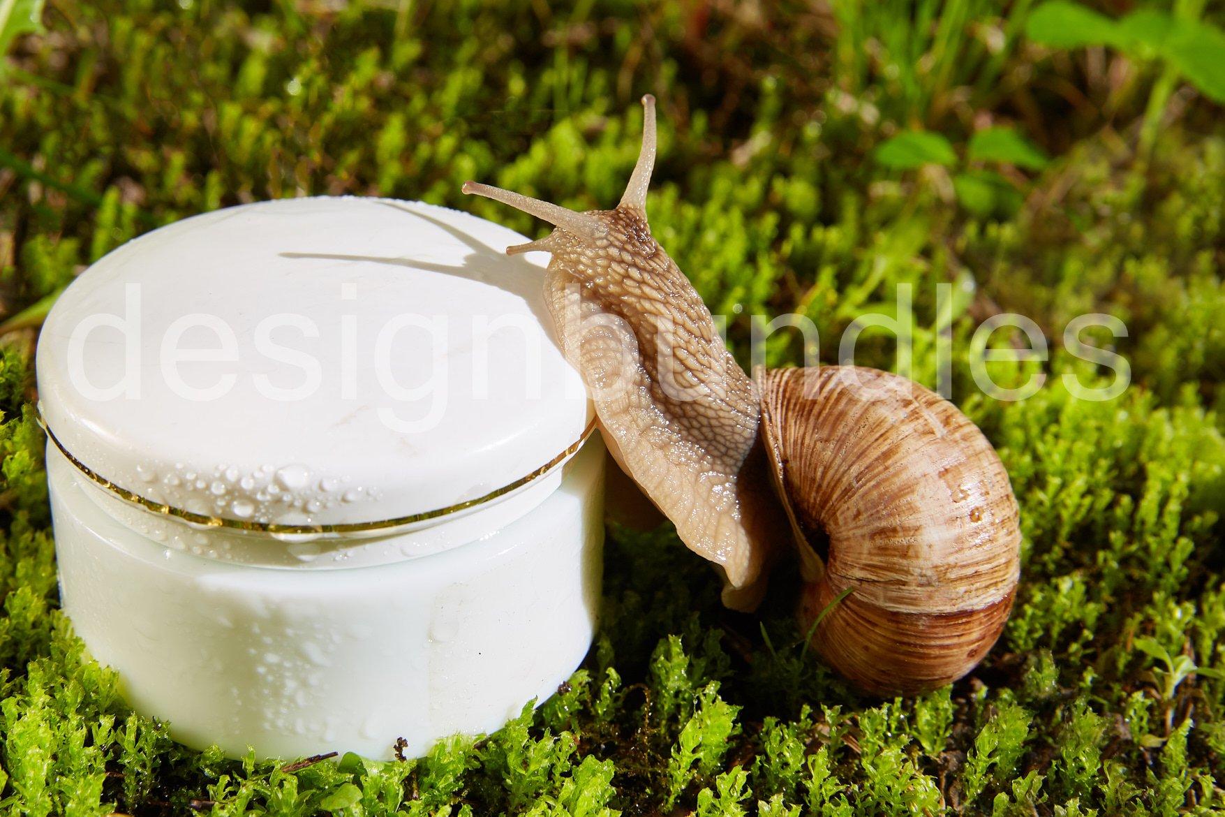 Helix pomatia, Burgundy snail example image 1