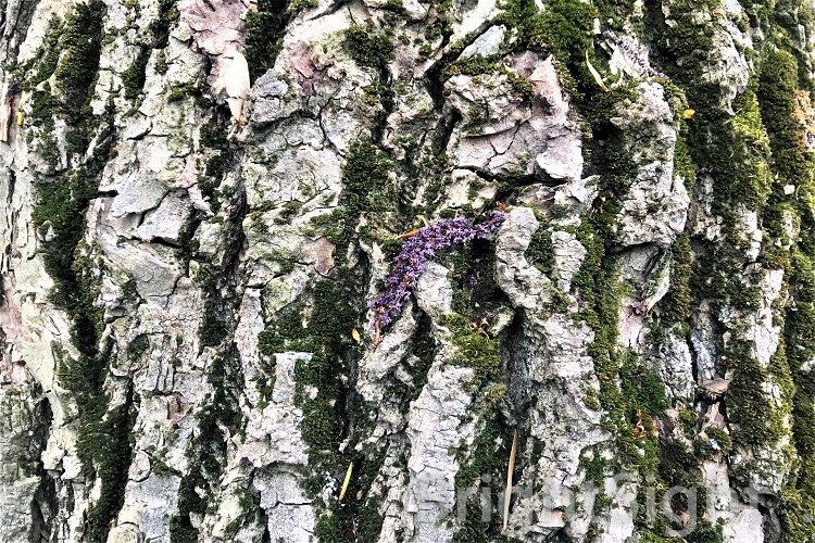 Old poplar bark example image 1