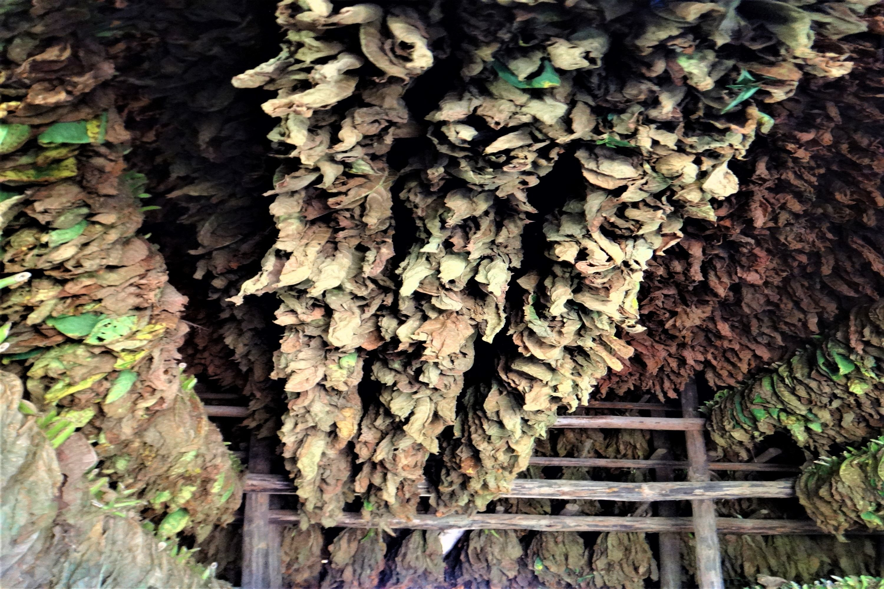 Tobacco leaves drying in Vinales, Cuba example image 1